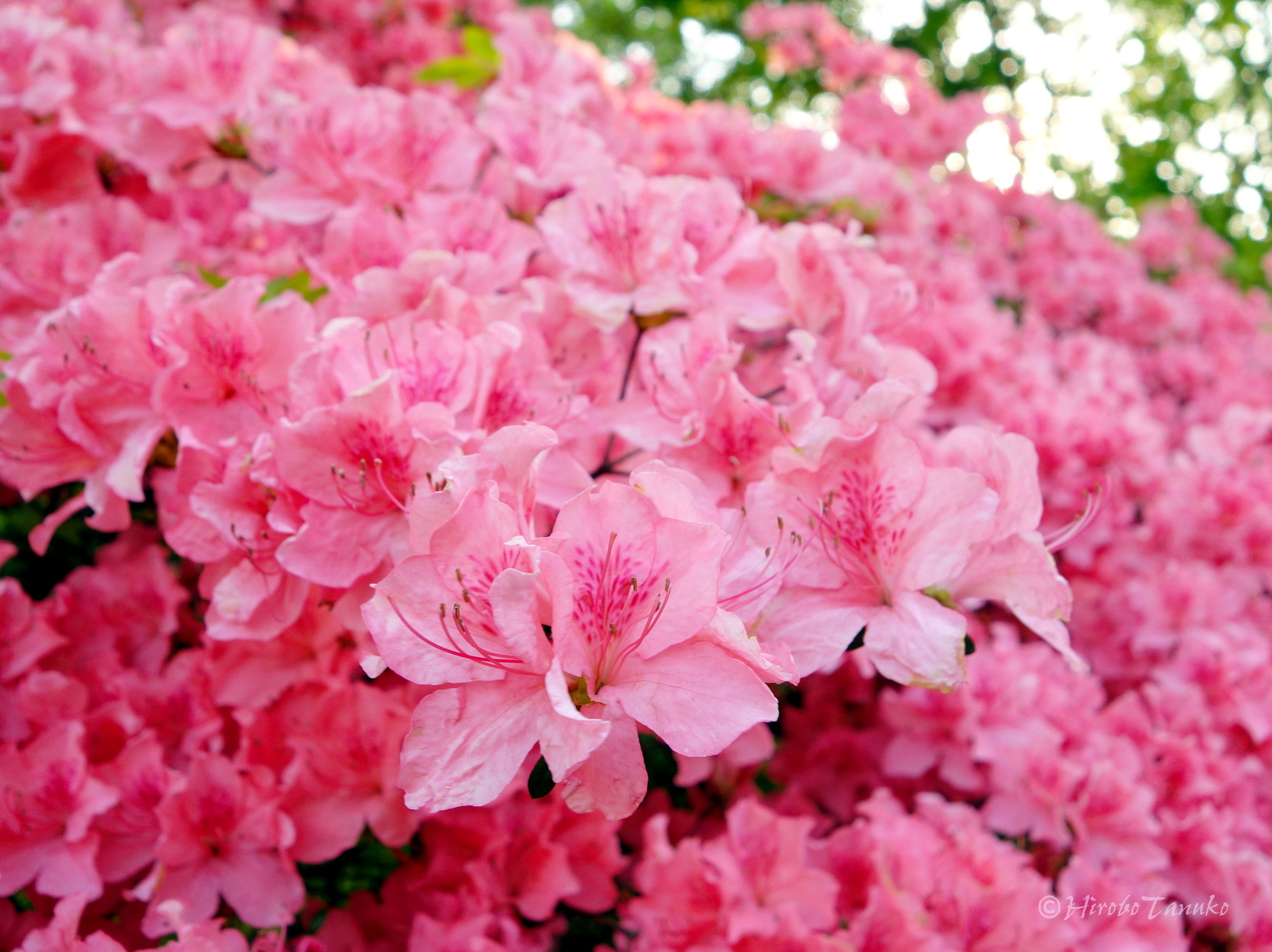 flower, freshness, fragility, petal, beauty in nature, pink color, growth, flower head, nature, blooming, close-up, in bloom, blossom, backgrounds, full frame, pink, plant, springtime, botany, park - man made space