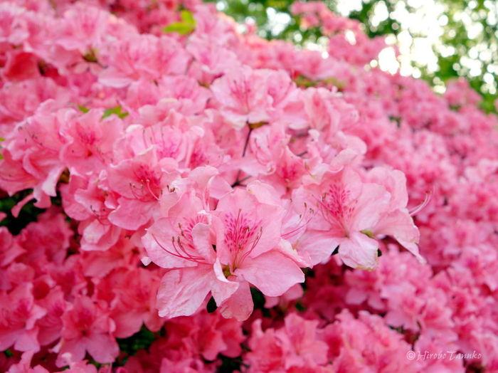 Flower Pink Flower
