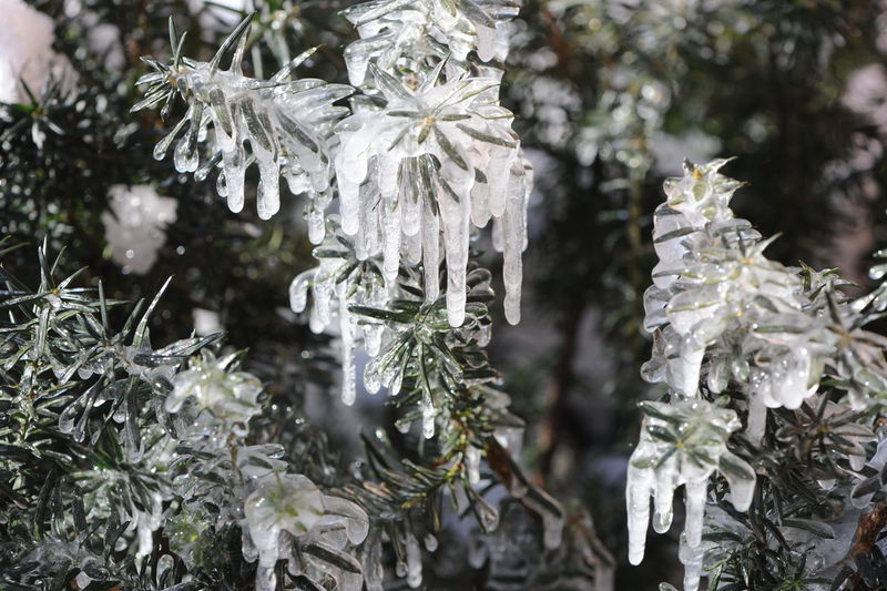 Cold as Ice. Beauty In Nature Cold Temperature Day Flower Head Focus On Foreground Fragility Freezing Cold Freshness Frozen Frozen Branches Frozen Nature Growth Ice Leaf Nature No People Outdoors Plant Snow Tree Winter