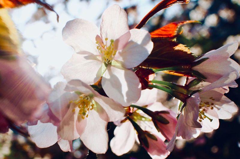 Full of Vigor Japan Cherry Blossoms Sakura Lens Flare Flower Flowering Plant Plant Growth Beauty In Nature Close-up Freshness Fragility Blossom Springtime Flower Head Sunlight Focus On Foreground Day Nature Inflorescence