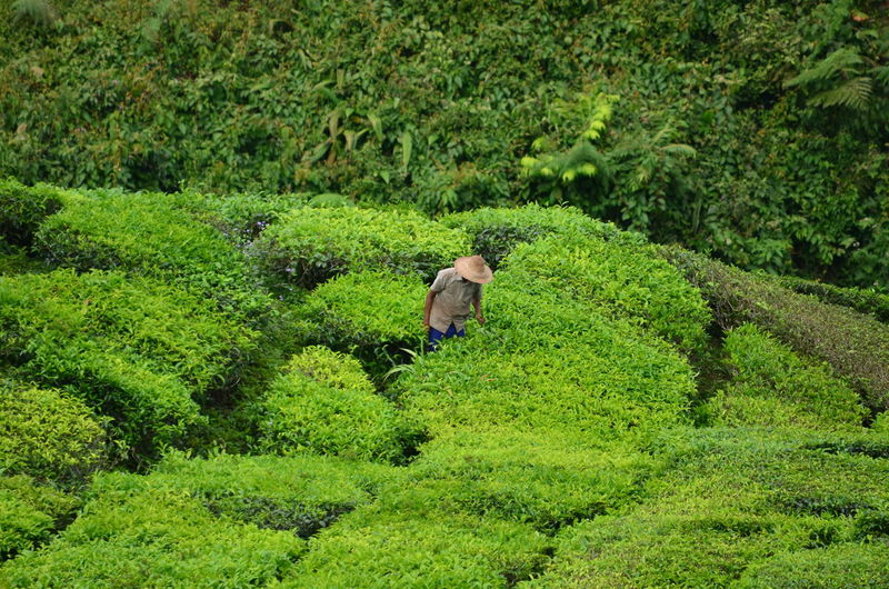 A worker in tea plantation Agriculture Day Farm Green Color Growth Nature One Person Scenics Senior Adult Tea Crop Working Fresh On Market 2017