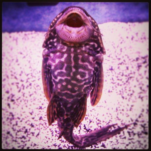 Algaeeater Bottomfeeder Suckerfish