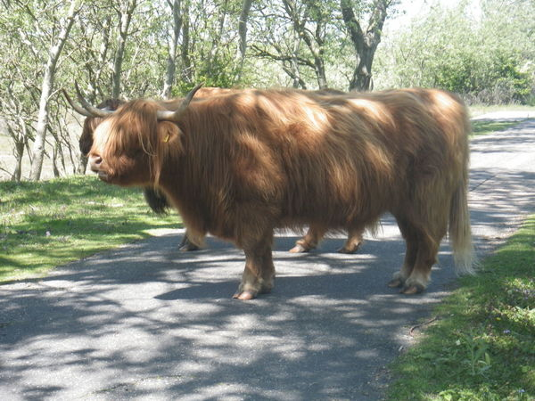 Animal Themes Beauty In Nature Cow Day Domestic Animals Grass Highland Cattle Landscape Livestock Mammal Nature No People One Animal Outdoors Standing Sunlight Tree
