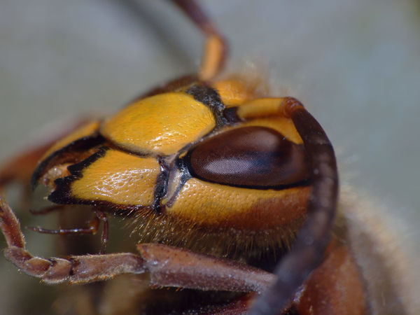 Vespa crabro - Serchio river Aculeata European Hornet Insect Macro  Insecta Vespa Vespa Crabro Vespidae Animal Eye Animal Themes Arthropoda Calabrone Close-up Extreme Close-up Eye Hexapoda Hymenoptera Insect Insect Close-up Invertebrate Macro Nature Wasp Yellow