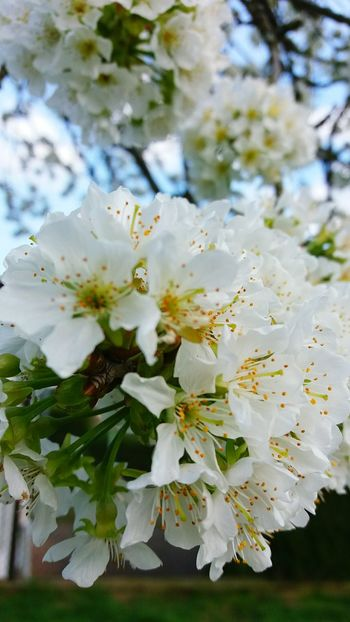 Nature White Color Tree Growth Close-up No People Branch Flower Outdoors Day Beauty In Nature Almond Tree Flower Head Sky Childhood Nature Lifestyles