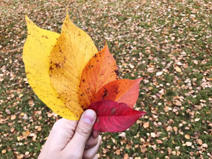 Autumn Autumn Colors Autumn Leaves Real People Human Hand Yellow Change One Person Autumn Lifestyles Holding Personal Perspective Outdoors Multi Colored Leaf Day Close-up Human Body Part Maple Leaf Maple