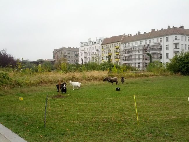 Eyem Nature Lovers  Streets Of Berlin Goats