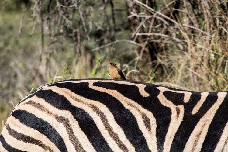 Close-up of zebra in a forest
