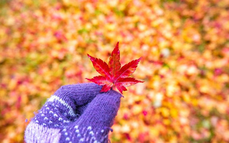 Close-up of maple leaf on field during autumn