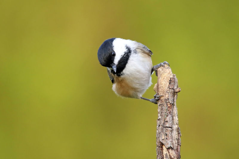 Close-up of great tit perching on plant