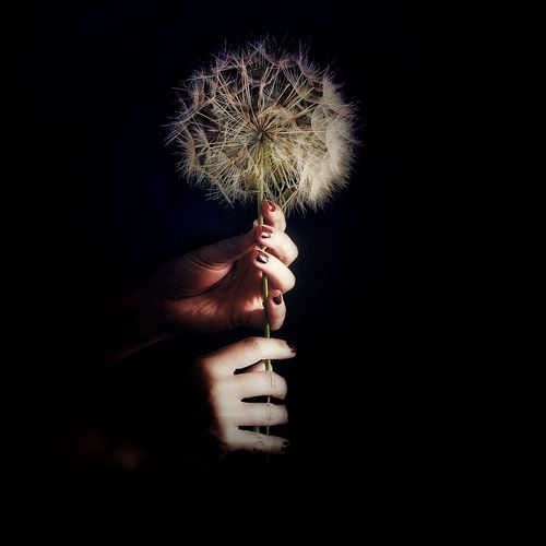 in your hands Flower Head Dandelion Human Hand Black Background Studio Shot Holding Close-up Focus On Shadow Hand Body Part Shadow