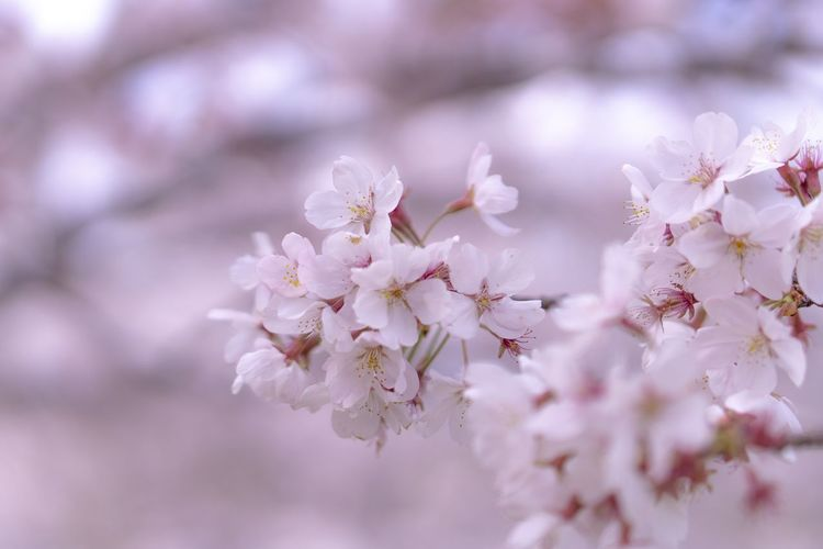 Flower Flowering Plant Fragility Plant Freshness Beauty In Nature Growth Springtime Close-up Blossom Tree Branch Cherry Blossom Petal Nature No People Day Pink Color Selective Focus Flower Head Cherry Tree Outdoors Pollen