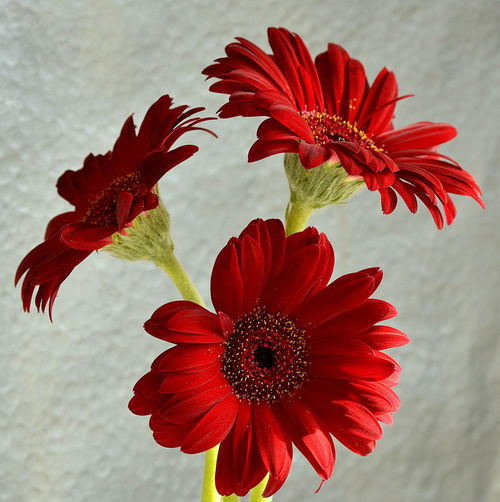 Gerbera trio Red Gerberas Beauty In Nature Close-up Day Flower Flower Head Flowering Plant Focus On Foreground Fragility Freshness Growth No People Petal Plant Red Vulnerability