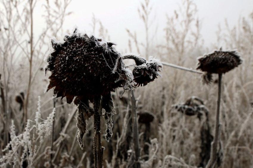 Cold Cold Temperature Dead Death Decay Field Fog Foggy Fragility Frost Frosty Growth Nature No People Outdoors Plant Sad Sadness Sunflower Winter Wintertime