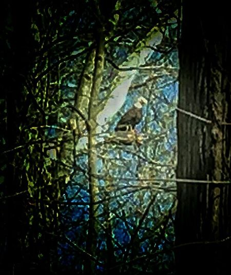 Bald Eagle in