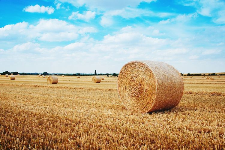 dry straw bales in the field under a cleat blue sky, rural area in Norfolk ,UK Sky Cloud - Sky Land Landscape Field Nature Day Agriculture Environment Rural Scene Tranquil Scene Farm Hay Tranquility Plant No People Beauty In Nature Outdoors Scenics - Nature Bale