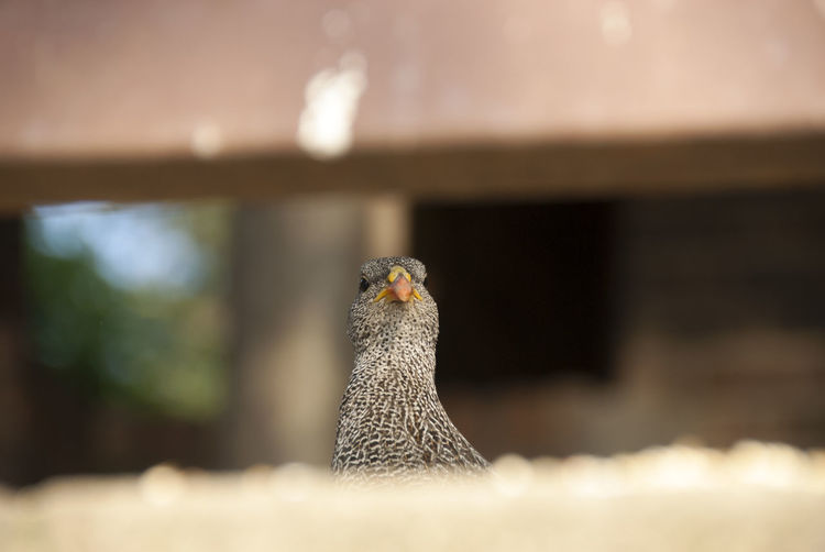 Francolin looking out on patio, Kruger National Park, South Africa Bird Bird Photography Close-up Day Focus On Foreground Francolin Krüger National Park  Nature No People Selective Focus South Africa Wildlife