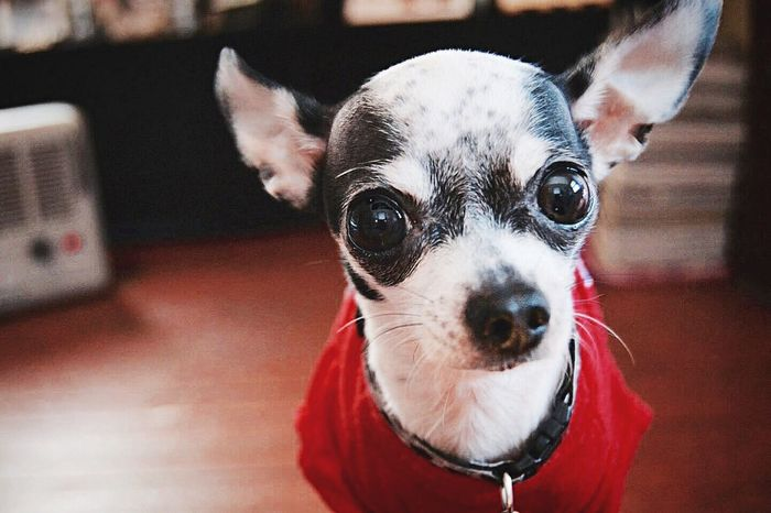 🐶❤️ Adorable Puppy Cute Dog Chihuahua Love Doglover Littlemoments Capturelife Memories 2015  📷