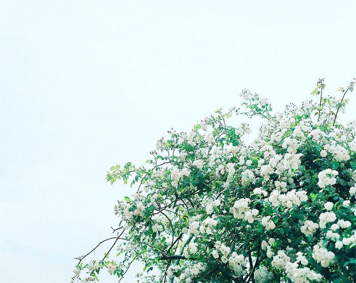 昼間はまだまだ暑いけど… 朝晩は涼しくなってきて秋が近づいてるんやぁ〜って感じる今日この頃… そろそろお写んぽに行こうかなぁ〜(*´艸`*) Flower Film Photography 120 Film Filmcamera PENTAX67 Pro400H Flowerporn EyeEm Best Shots