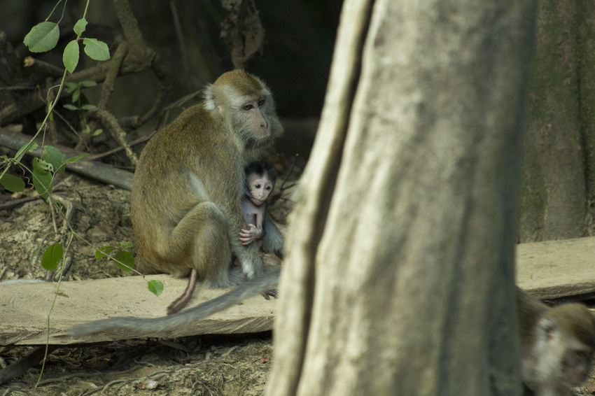 Animal Themes Borneo Close-up Kinabatangan River Mammal Monkey Nature Newborn Outdoors Selective Focus Wild Two Is Better Than One