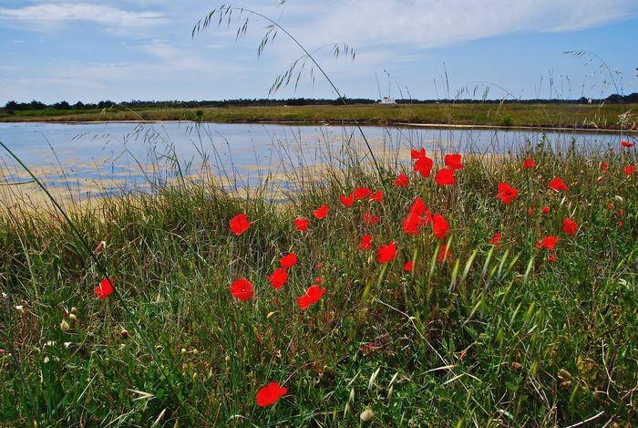 Coquelicots Poppies  île De Noirmoutier Noirmoutier Island France