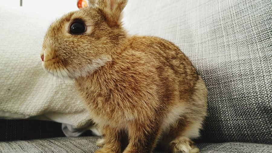 EyeEm Selects Pets Indoors  Domestic Animals One Animal Sofa No People Close-up Day Bunny  Perspectives Low Angle View Presence
