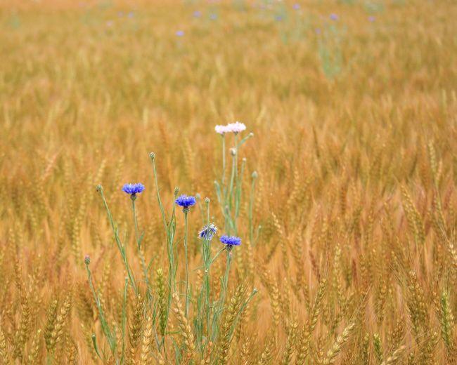 周りが新緑なのにここだけ秋みたい。そして黄金色の合間からひょっこり❀✿ Check This Out Enjoying Life My Point Of View Nature Photography Flowerporn Flower Collection わちゃわちゃ 楽しみ隊 黄昏隊 麦畑