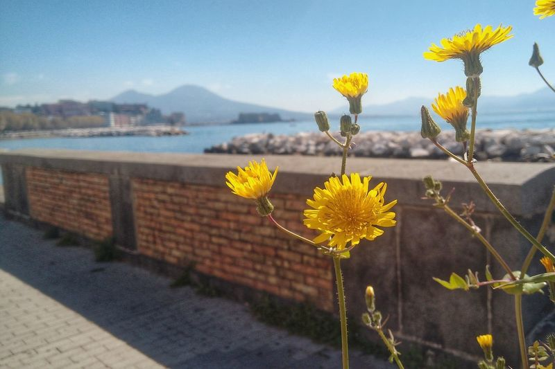 Mare Napoli Vesuvio Beauty In Nature Close-up Day Flower Flower Head Flowering Plant Focus On Foreground Fragility Freshness Growth Inflorescence Nature No People Outdoors Petal Plant Sky Springtime Vesuvius  Vulnerability  Water Yellow