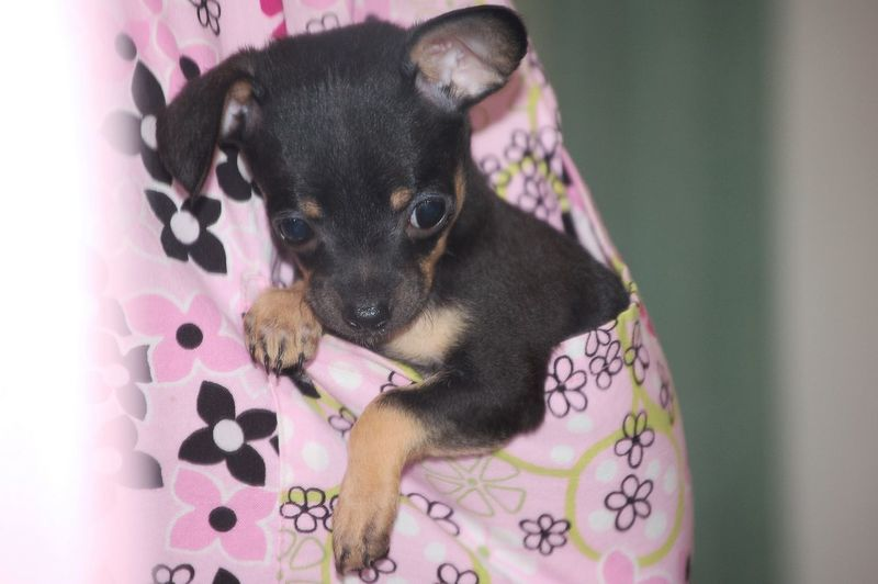 Pocket Pet Animal Head  Black Color Chihuahua Close-up Dog Focus On Foreground Mammal Nature No People Pets Pink Color Portrait Puppy Puppy Love Selective Focus Teacupchihuahua