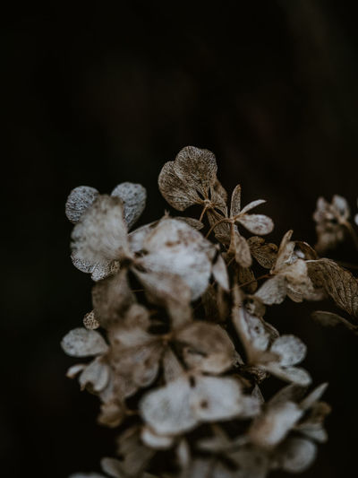 Macro photo of decaying hydrangea Hydrangea Decayed Beauty Decay Floral