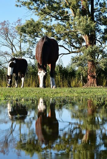 Animal Wildlife Puddle NikonD5500 TheWeekOnEyeEM 18-55mm Nikor18-55mm Nikor50mm Nikor Horse Photography  Horses Horse Head Reflections In The Water Reflections Close-up Nikon Reflection