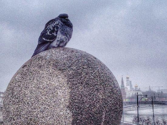 Moscow Winter Gray Birds Pigeons City Animals
