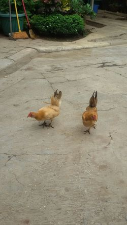 Home Day Off Chickens Are Pets Nofilternoedit Nofilter#noedit No Edit/no Filter No Filter Jakarta Indonesia Nofilter