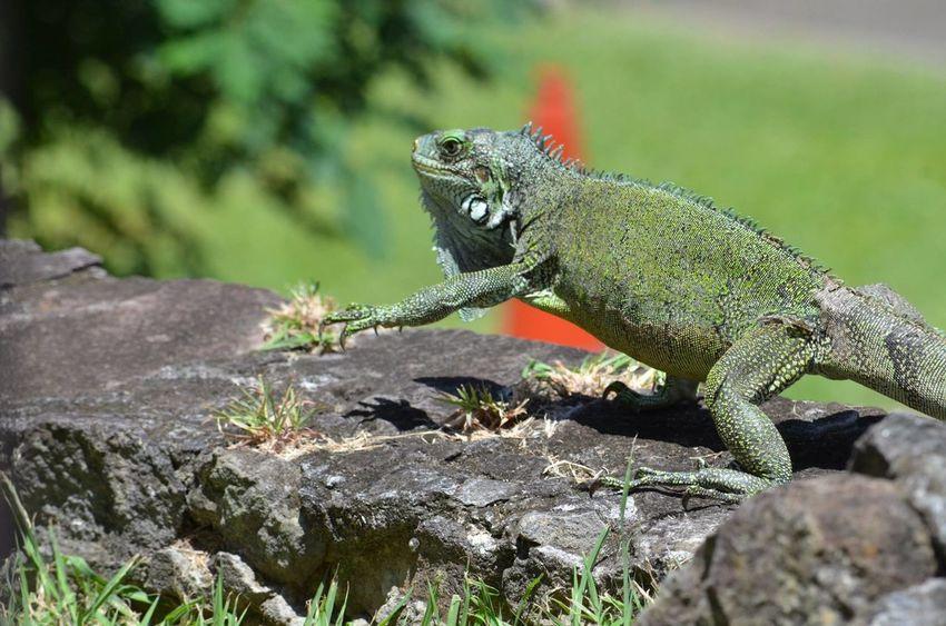 #Martinique #iguana #iguane Animals In The Wild Nature Reptile