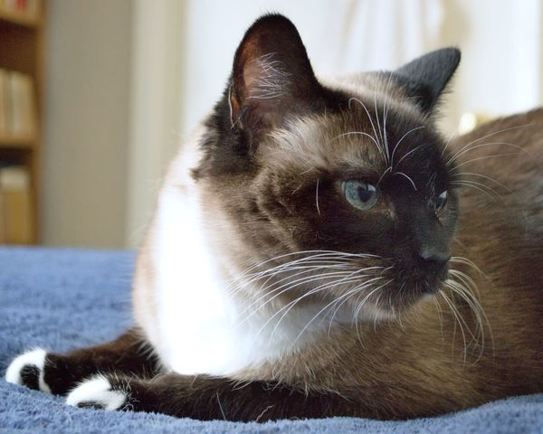 Allie    Cat Kitty Cute Love Caturday National Cat Day     Domestic Cat Pets Domestic Animals One Animal Feline Siamese Cat