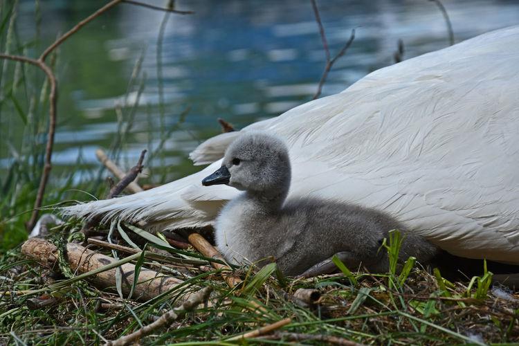 Cygnet By Swan Against Lake