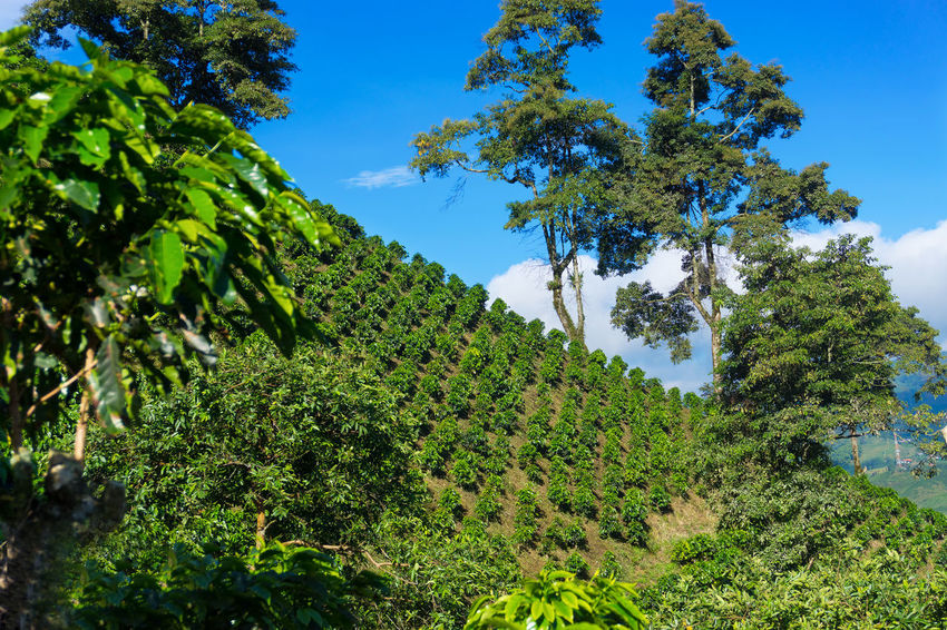 Landscape of hills covered in delicious Colombian coffee near Manizales, Colombia Agriculture America Caldas Chinchina Coffee Colombia Farm Field Fresh Green Growth Hill Hills Landscape Latin Leaf Manizales Mountain Mountains Nature Plant Plantation South Travel Tree