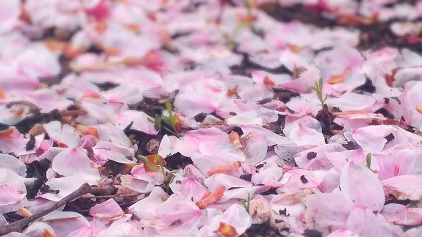 Petals🌸 Flowers Fall Beauty In Nature Pink Color No People Day Large Group Of Objects Backgrounds Leaf Outdoors Nature Close-up