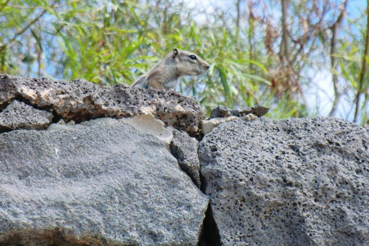 Little guy... Rocky Beach Stone Wall Squirrel Jandia Fuerteventura Kiomi Collection 2013 Journey