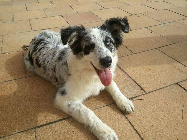 Dog❤ Bicoloredeyes Puppy Border Collie Animal Lover