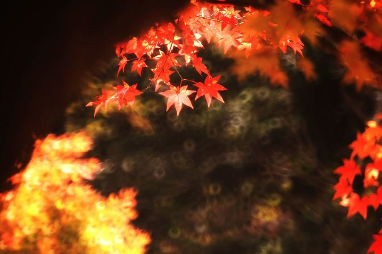 Autumn Leaves Autumn colors South Korea Beauty In Nature Tree Book Cover Maple Leaf Defocused Beauty Leaf Autumn Red Change Maple Tree Maple Autumn Collection