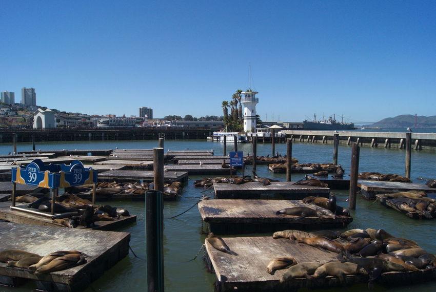 San Francisco San Francisco Pier 39 Harbour Landscape Landschaft Sealion  Seelöwe Showcase April Sealions