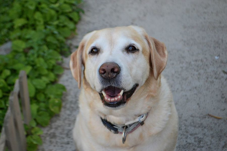 Portrait of white labrador retriever dog, dog smile Elegant Gold Happiness Happy Portrait Of A Woman Animal Themes Close-up Day Dog Domestic Animals Domestic Dog Face Fur Golden Hour Headshot Healthy Eating Looking At Camera Mammal Nature No People One Animal Outdoors Pet Pets Portrait