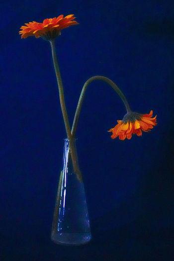 Close-up of orange leaf against blue sky