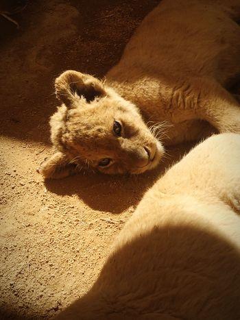 Animal Themes Sunlight Zoology Outdoors Safari Lions Big Cats Domestic Animals Babylion
