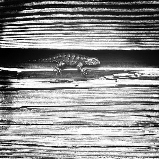 Hanging Out IPhoneography Gainesville Nature Lizard Lizards Wood Hiding I See You Blackandwhite Gray Background Gray Grey Rough Rough Texture Weathered Cracked