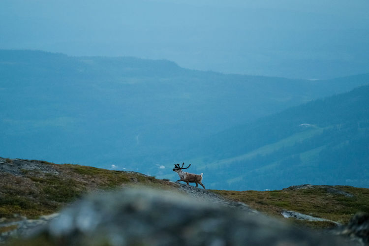 Scenic view of reindeer on mountain range against sky