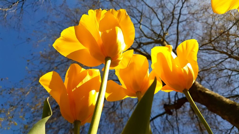 Big yellow tulips Nature Flowers :) Yellow Flowers Blue Sky Relaxing Break Galaxy S7 Edge Check This Out Petals Bigger Than You Think Hello World Kwiaty Tulipan
