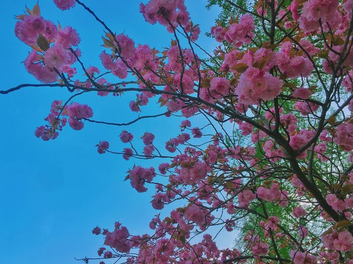 Flower Beauty In Nature Tree Branch Nature Growth Fragility Pink Color Freshness Blossom Low Angle View Springtime Botany Petal No People Day Sky Blooming Outdoors Flower Head