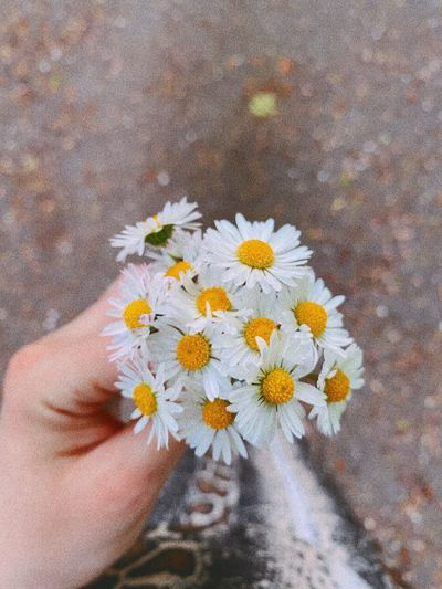 Close-up of hand holding daisy flowers
